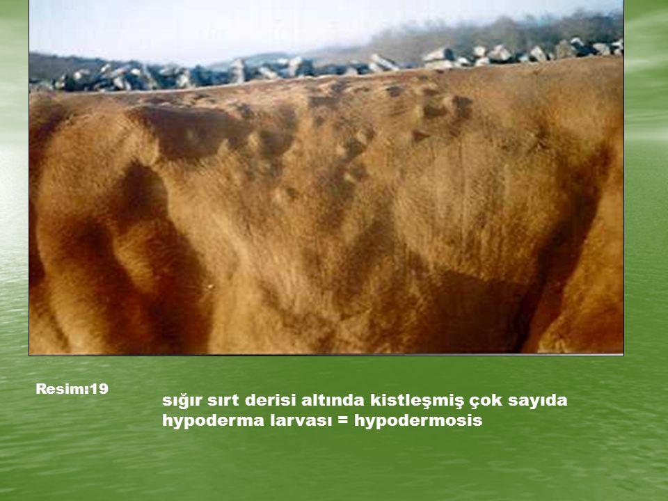 Resim:19 sığır sırt derisi altında kistleşmiş çok sayıda hypoderma larvası = hypodermosis