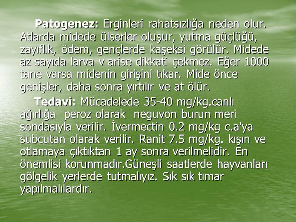 Patogenez: Erginleri rahatsızlığa neden olur