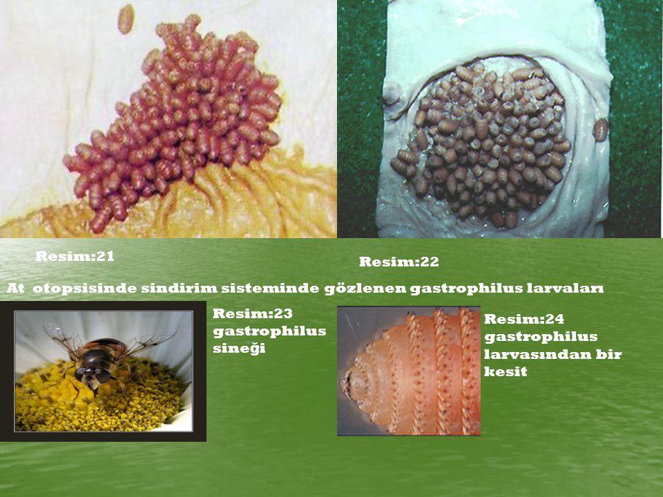 Resim:21 Resim:22. At otopsisinde sindirim sisteminde gözlenen gastrophilus larvaları. Resim:23 gastrophilus sineği.