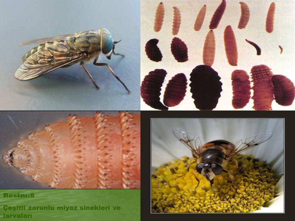 Resim:8 Çeşitli zorunlu miyaz sinekleri ve larvaları