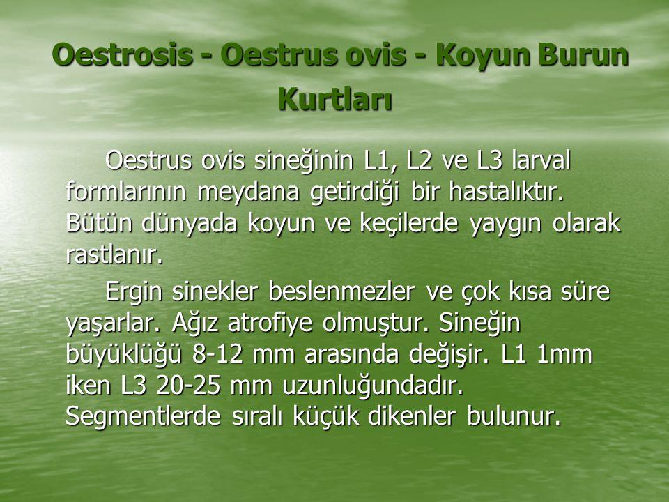 Oestrosis - Oestrus ovis - Koyun Burun Kurtları