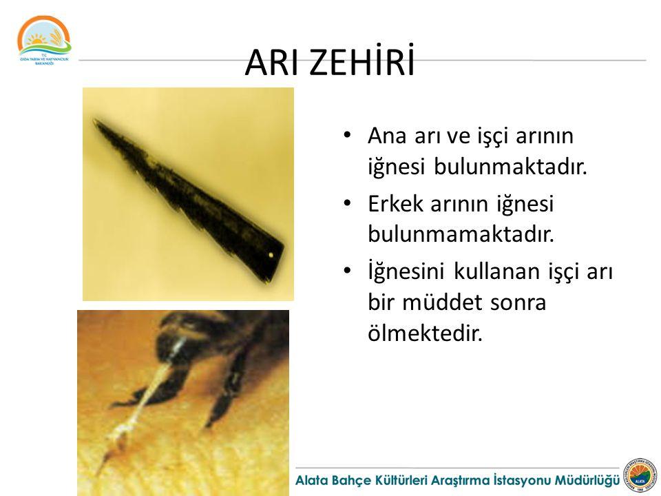 ARI ZEHİRİ Ana arı ve işçi arının iğnesi bulunmaktadır.