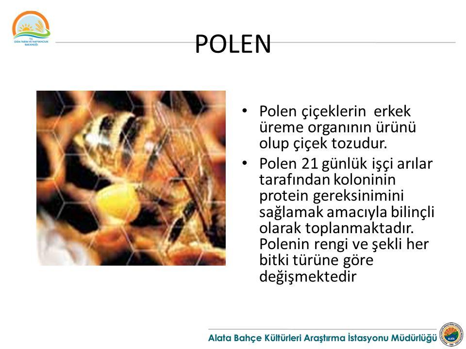 POLEN Polen çiçeklerin erkek üreme organının ürünü olup çiçek tozudur.