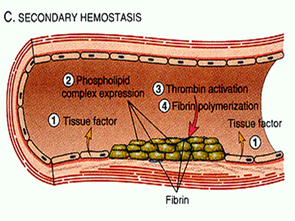 Secondary Hemostasis Pic