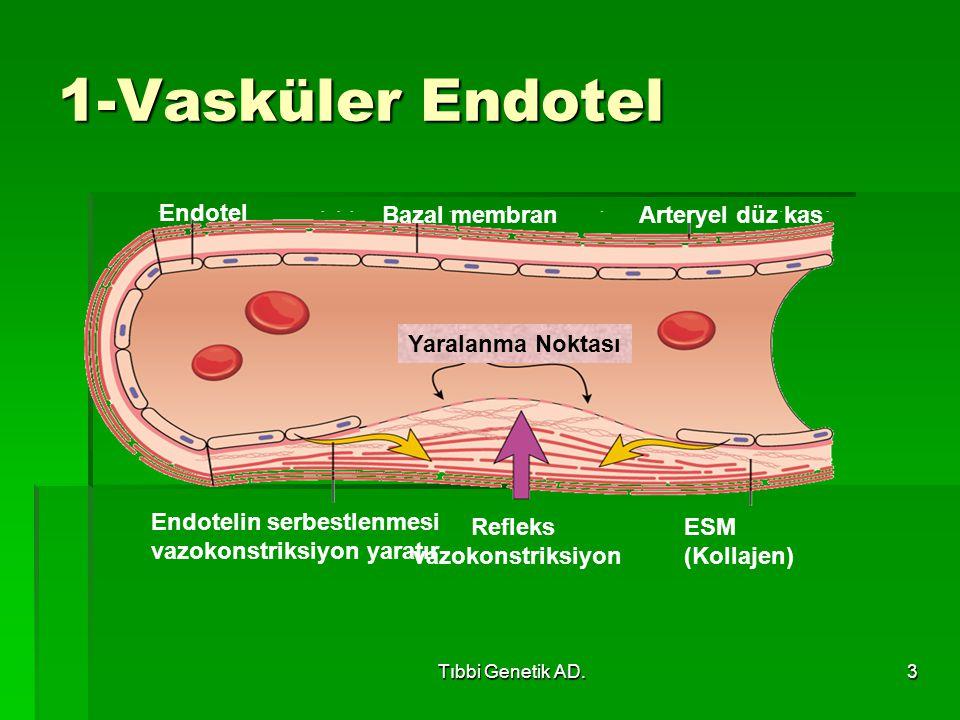 1-Vasküler Endotel Yaralanma Noktası Endotel Bazal membran