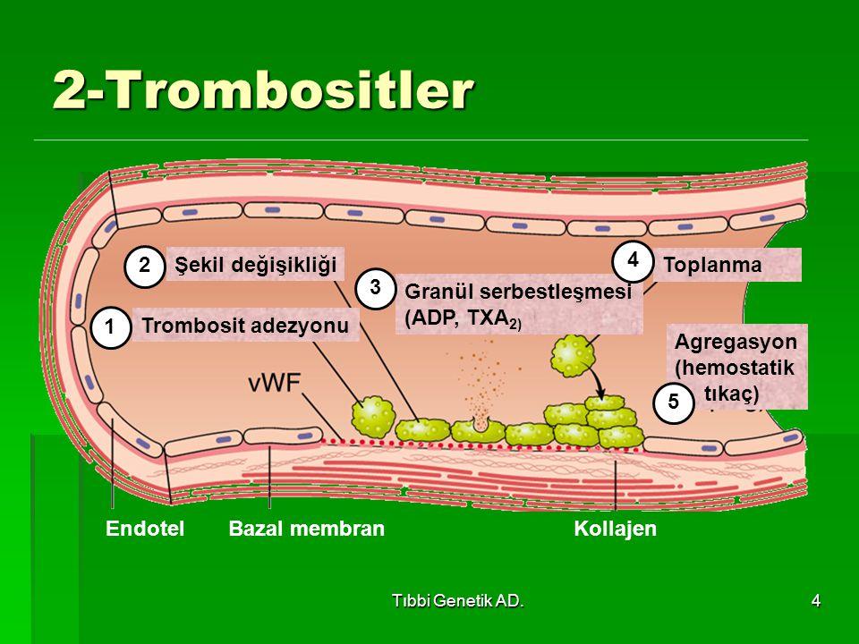 2-Trombositler Endotel Bazal membran Kollajen Trombosit adezyonu