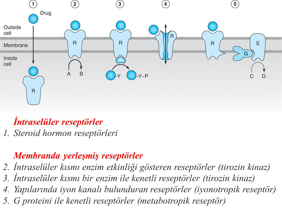 İntraselüler reseptörler