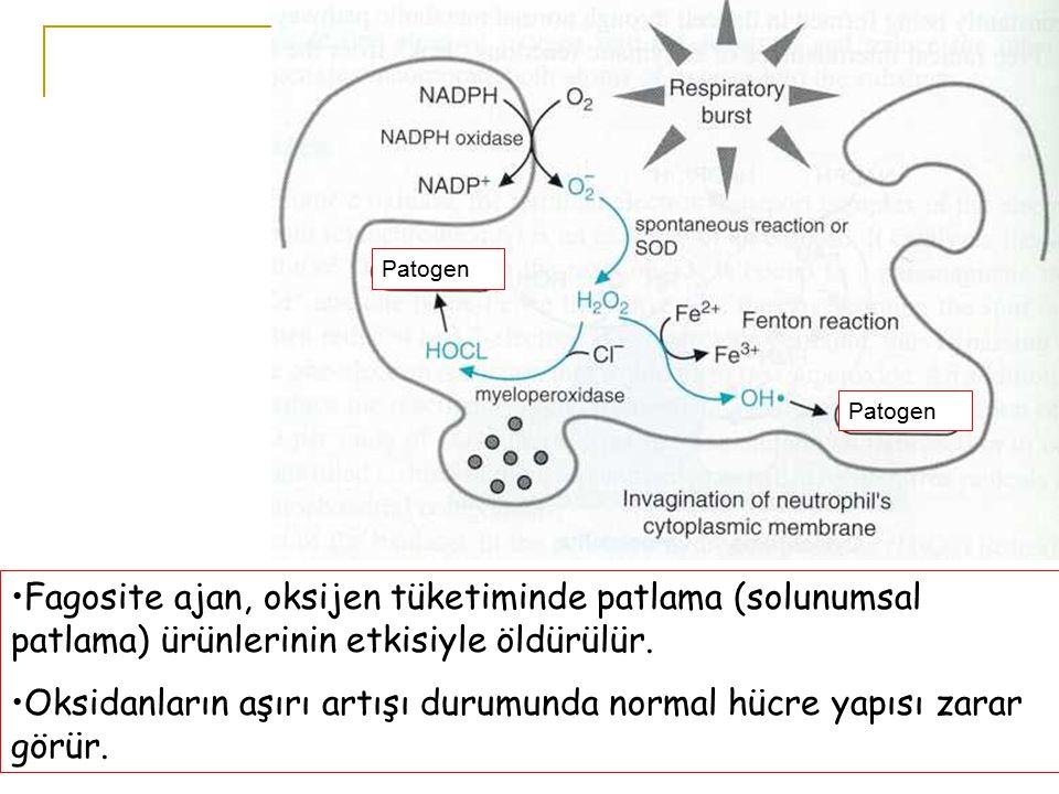 Oksidanların aşırı artışı durumunda normal hücre yapısı zarar görür.