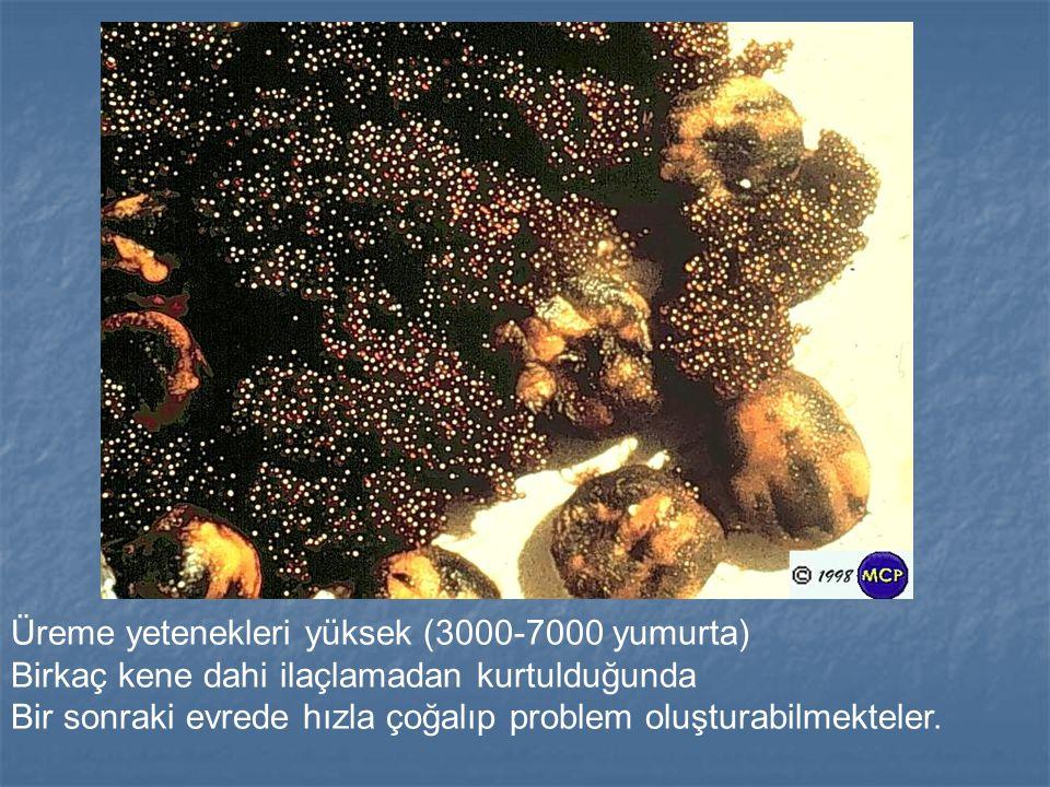 Üreme yetenekleri yüksek (3000-7000 yumurta)