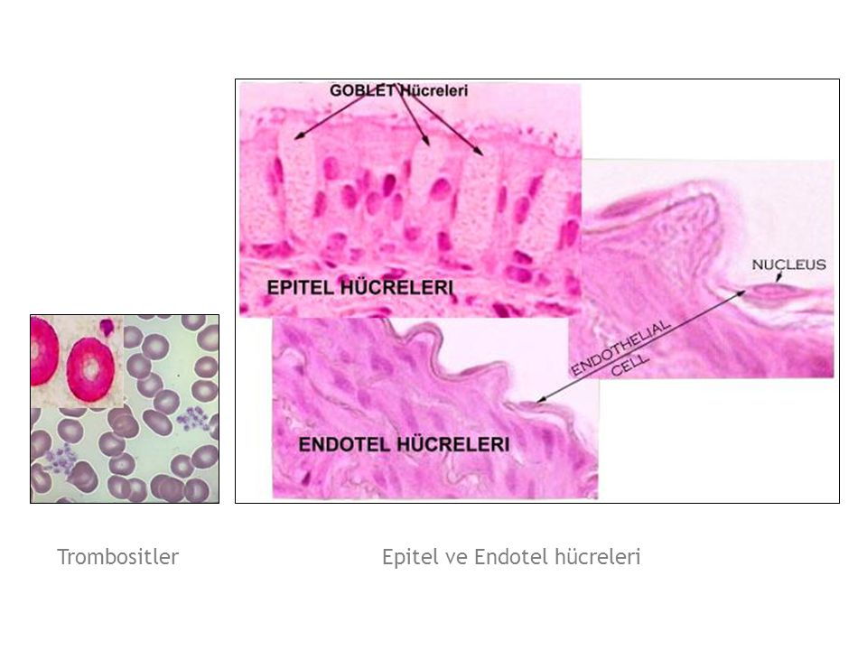 Epitel ve Endotel hücreleri