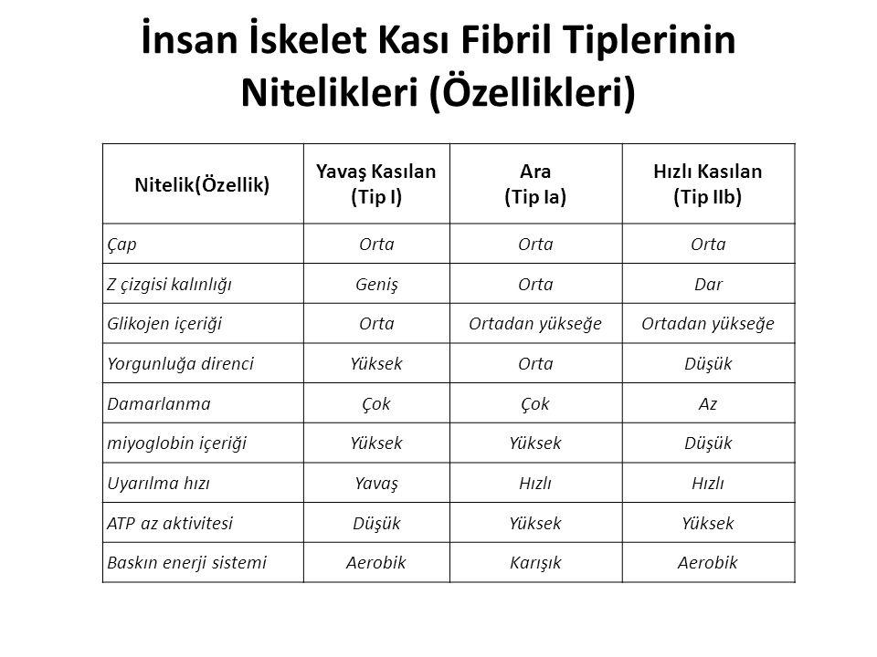 İnsan İskelet Kası Fibril Tiplerinin Nitelikleri (Özellikleri)