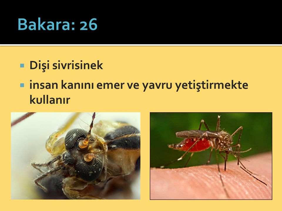 Bakara: 26 Dişi sivrisinek