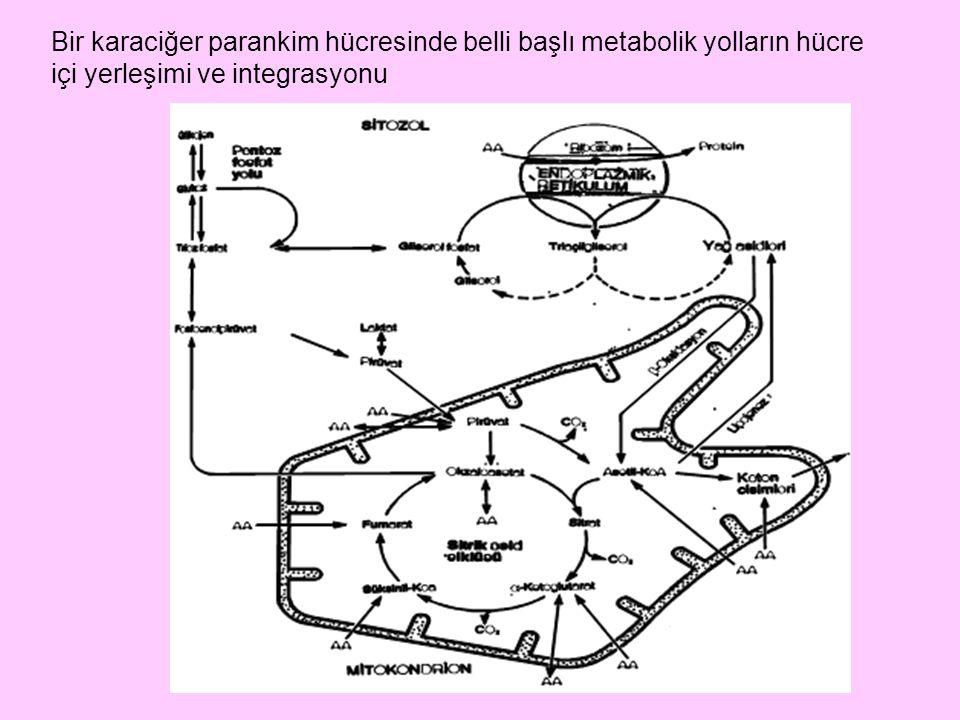 Bir karaciğer parankim hücresinde belli başlı metabolik yolların hücre içi yerleşimi ve integrasyonu