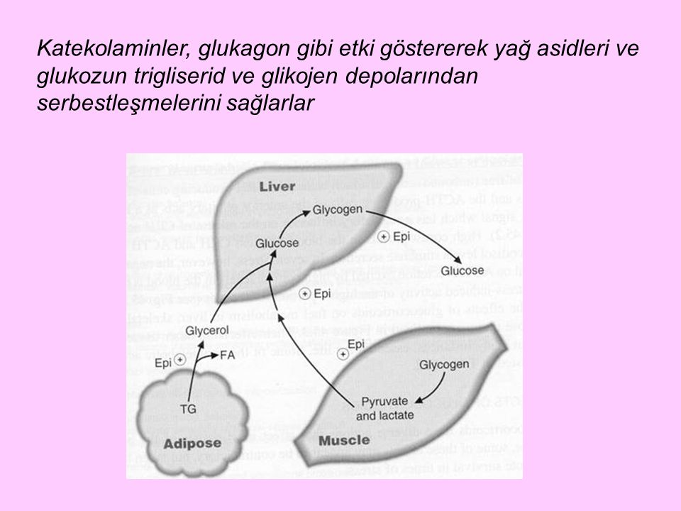 Katekolaminler, glukagon gibi etki göstererek yağ asidleri ve glukozun trigliserid ve glikojen depolarından serbestleşmelerini sağlarlar