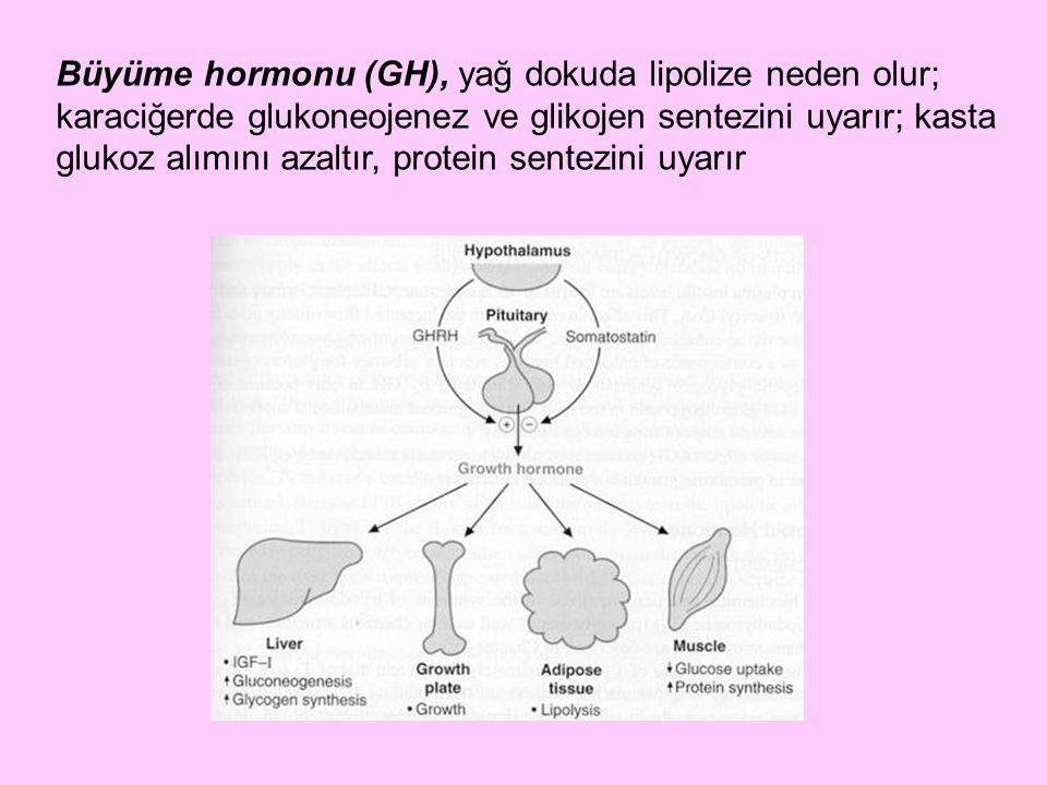 Büyüme hormonu (GH), yağ dokuda lipolize neden olur; karaciğerde glukoneojenez ve glikojen sentezini uyarır; kasta glukoz alımını azaltır, protein sentezini uyarır