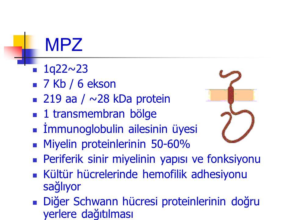 MPZ 1q22~23 7 Kb / 6 ekson 219 aa / ~28 kDa protein