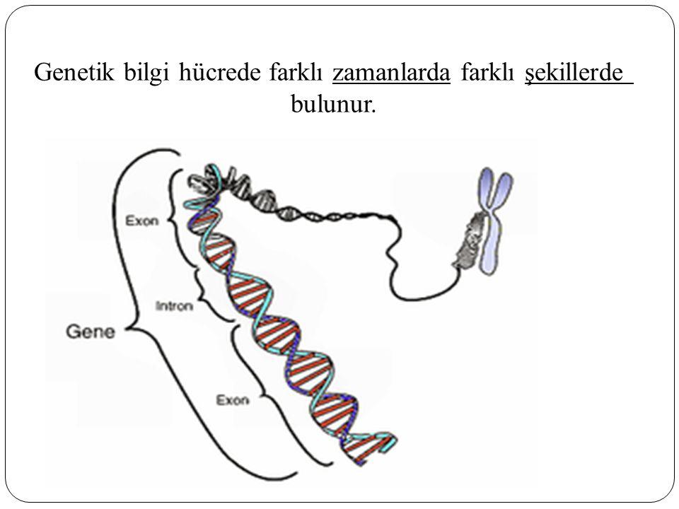 Genetik bilgi hücrede farklı zamanlarda farklı şekillerde