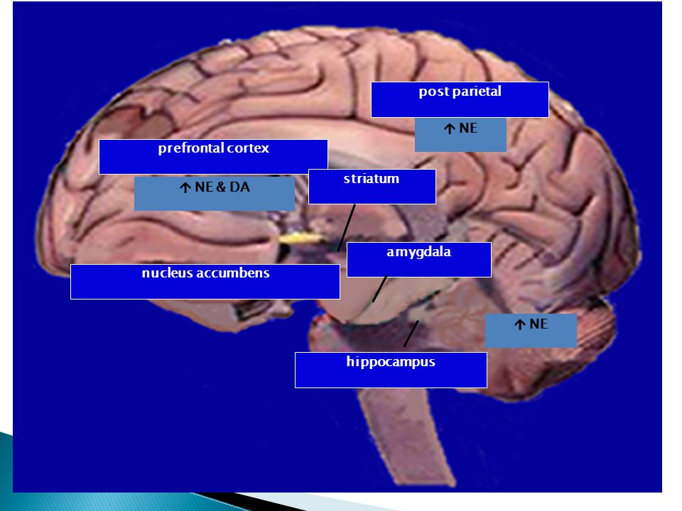 post parietal  NE prefrontal cortex  NE & DA striatum nucleus accumbens amygdala hippocampus