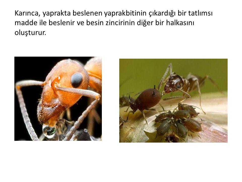 Karınca, yaprakta beslenen yaprakbitinin çıkardığı bir tatlımsı madde ile beslenir ve besin zincirinin diğer bir halkasını oluşturur.