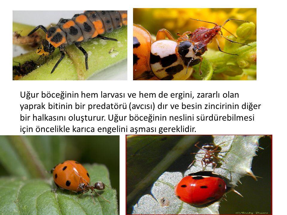 Uğur böceğinin hem larvası ve hem de ergini, zararlı olan yaprak bitinin bir predatörü (avcısı) dır ve besin zincirinin diğer bir halkasını oluşturur.