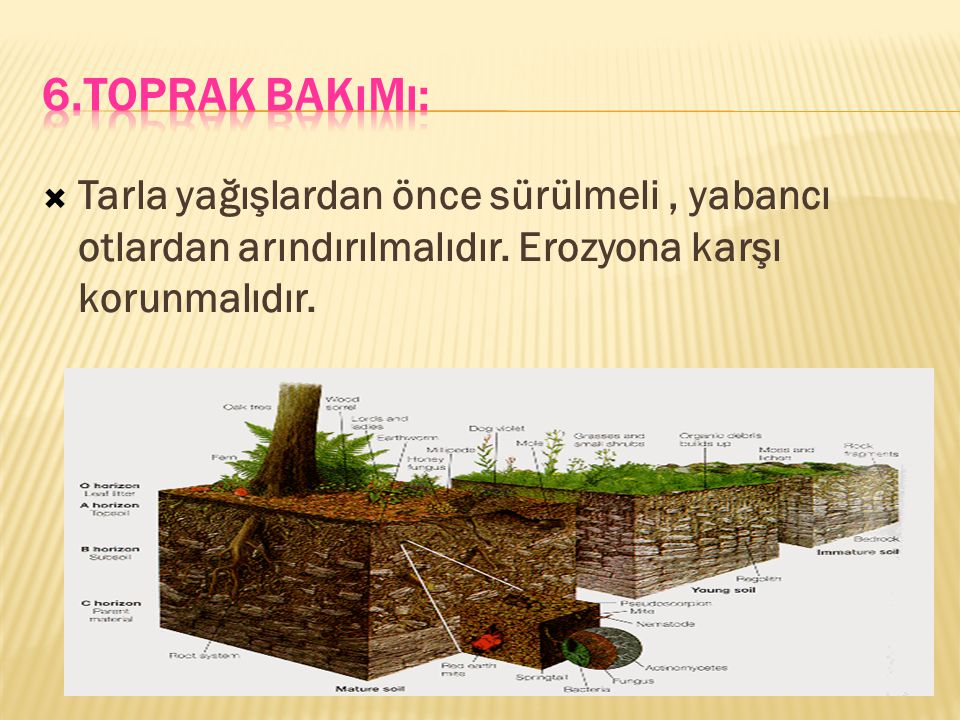 6.Toprak Bakımı: Tarla yağışlardan önce sürülmeli , yabancı otlardan arındırılmalıdır.