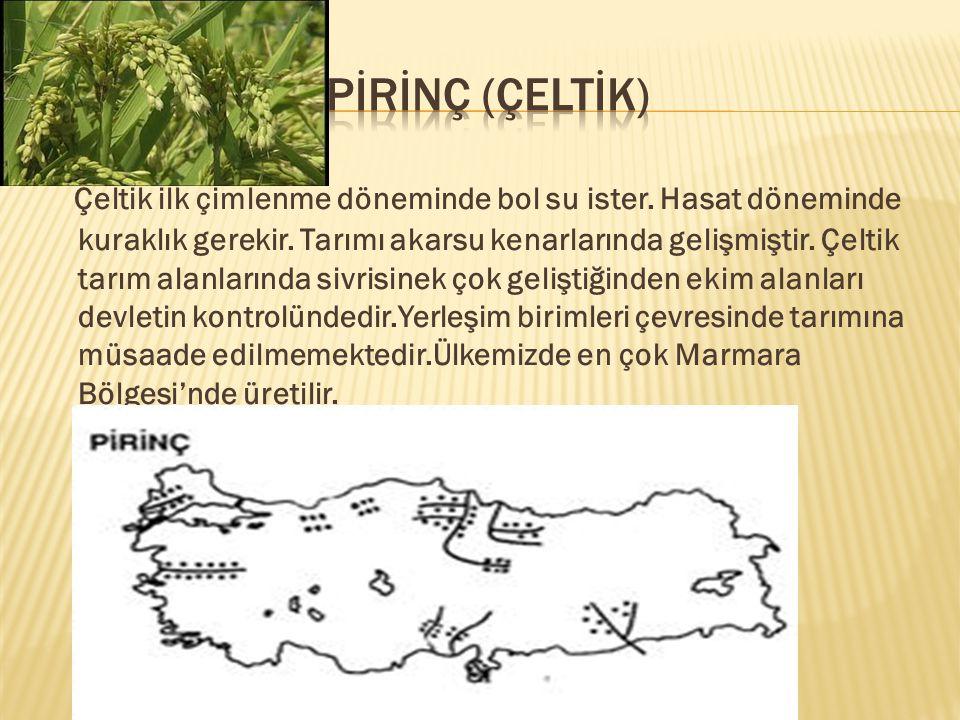 PİRİNÇ (ÇELTİK)
