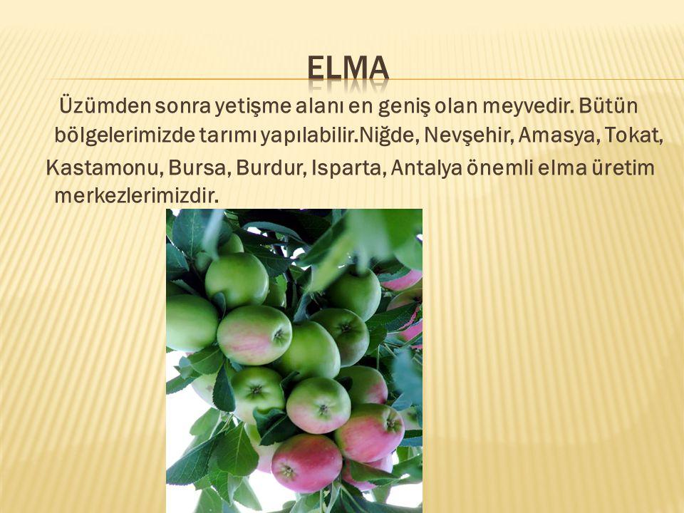 ELMA Üzümden sonra yetişme alanı en geniş olan meyvedir. Bütün bölgelerimizde tarımı yapılabilir.Niğde, Nevşehir, Amasya, Tokat,