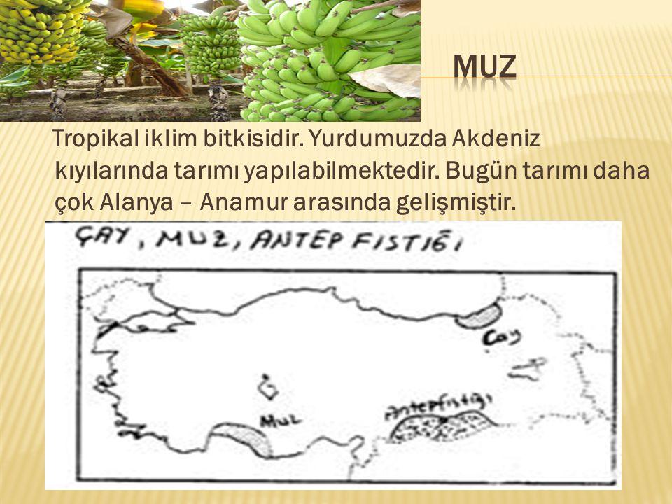 MUZ Tropikal iklim bitkisidir. Yurdumuzda Akdeniz kıyılarında tarımı yapılabilmektedir.