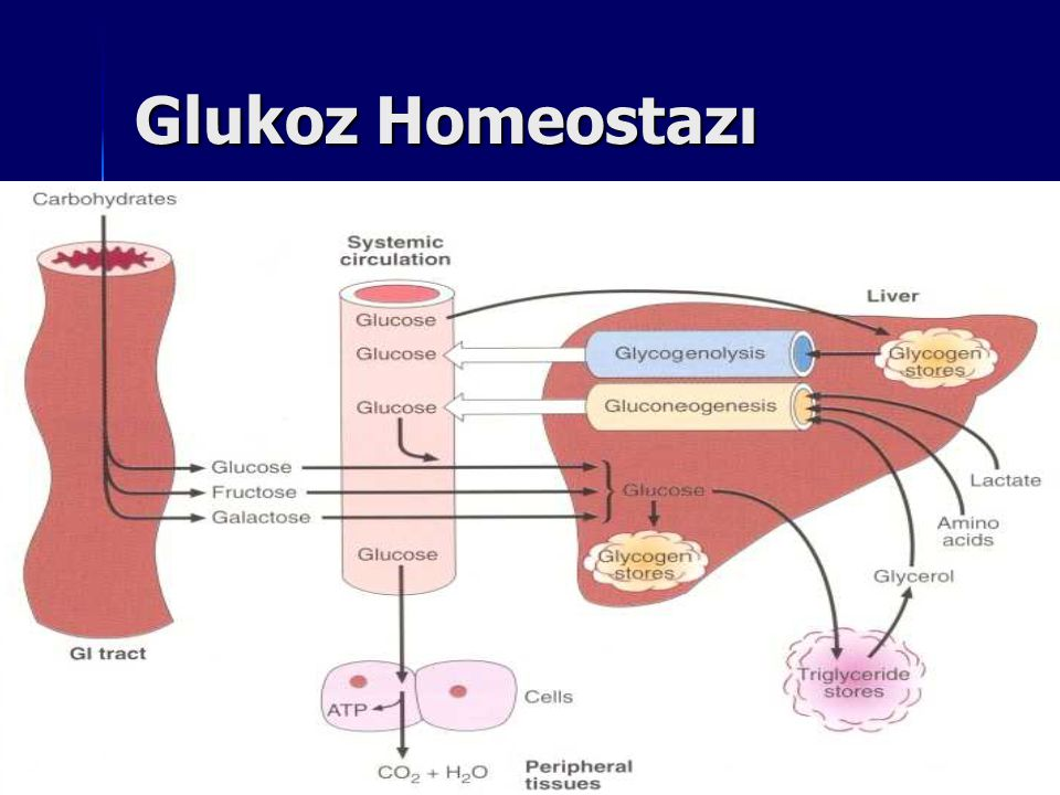Glukoz Homeostazı