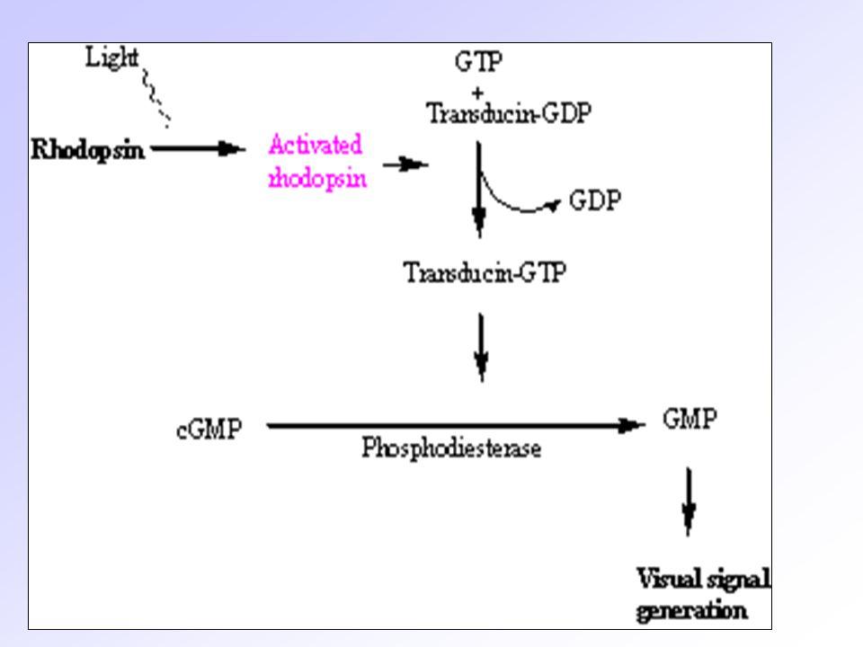 Metarodopsin II, cGMP nin GMP ye dönüşmesini katalizleyen cGMP Fosfodiesteraz ın aktive olması ile sonuçlanan bir dizi tepkimeyi başlatır ve sonuçta cGMP azalır, cGMP varlığında açık olan Na+ kanalları kapanır ve rod hücrelerinin hiperpolarizasyonu gerçekleşir