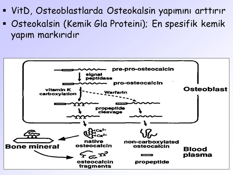 VitD, Osteoblastlarda Osteokalsin yapımını arttırır