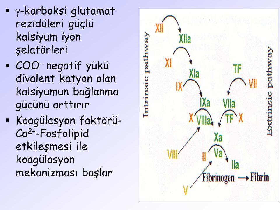 -karboksi glutamat rezidüleri güçlü kalsiyum iyon şelatörleri