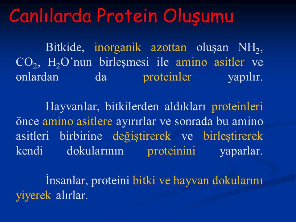 Canlılarda Protein Oluşumu