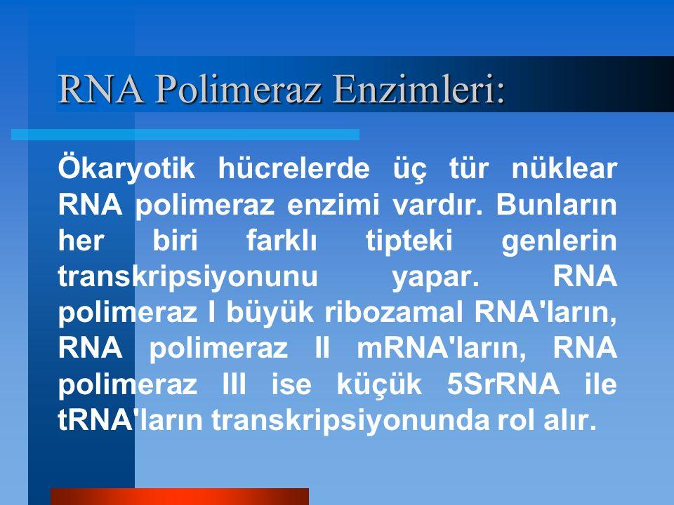 RNA Polimeraz Enzimleri: