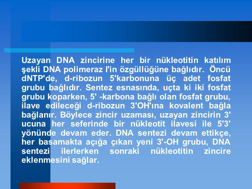 Uzayan DNA zincirine her bir nükleotitin katılım şekli DNA polimeraz I in özgüllüğüne bağlıdır.