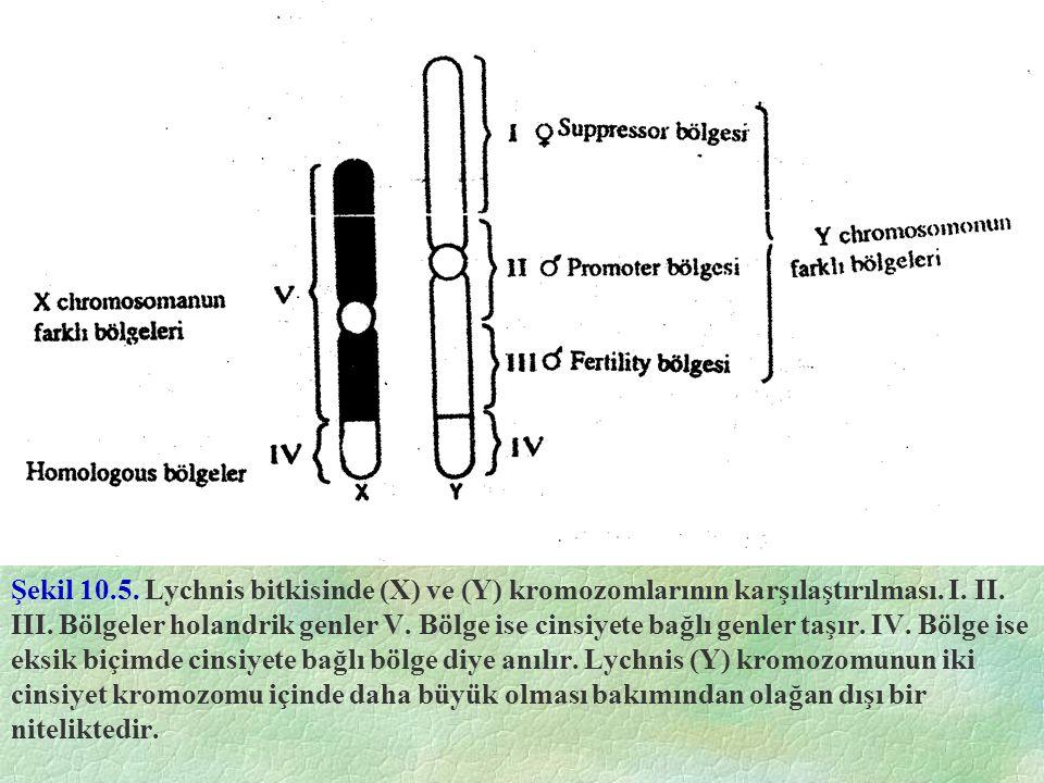 Şekil 10.5. Lychnis bitkisinde (X) ve (Y) kromozomlarının karşılaştırılması.
