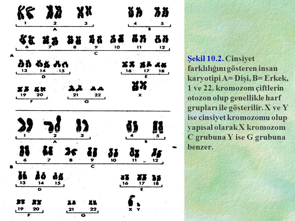 Şekil 10.2. Cinsiyet farklılığını gösteren insan karyotipi A= Dişi, B= Erkek, 1 ve 22.