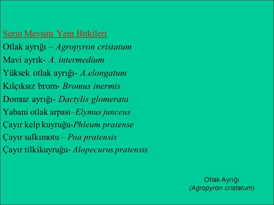(Agropyron cristatum)