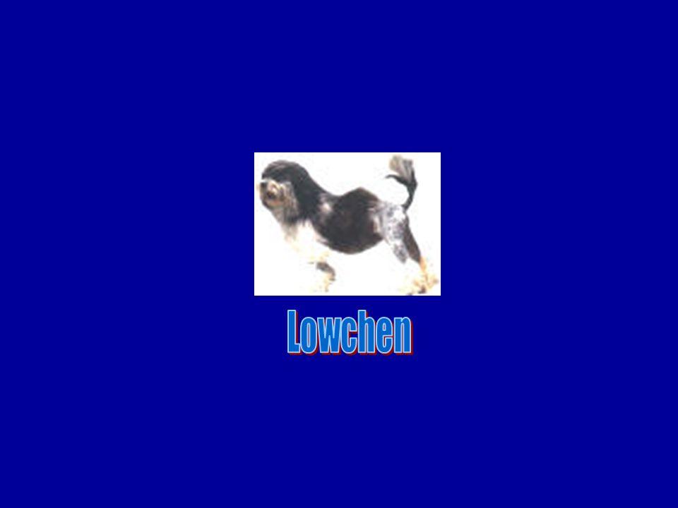 Lowchen