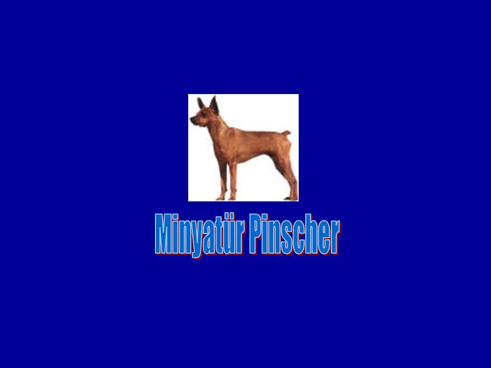 Minyatür Pinscher