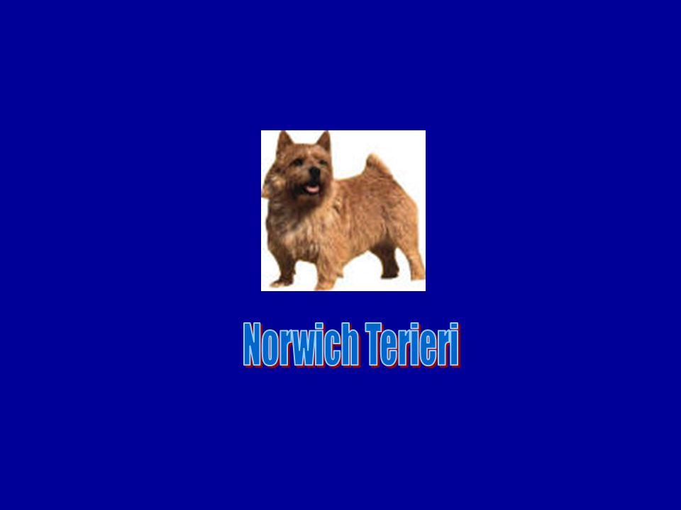 Norwich Terieri