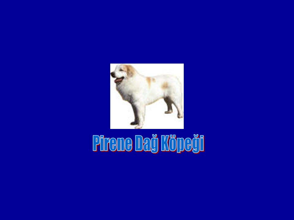 Pirene Dağ Köpeği