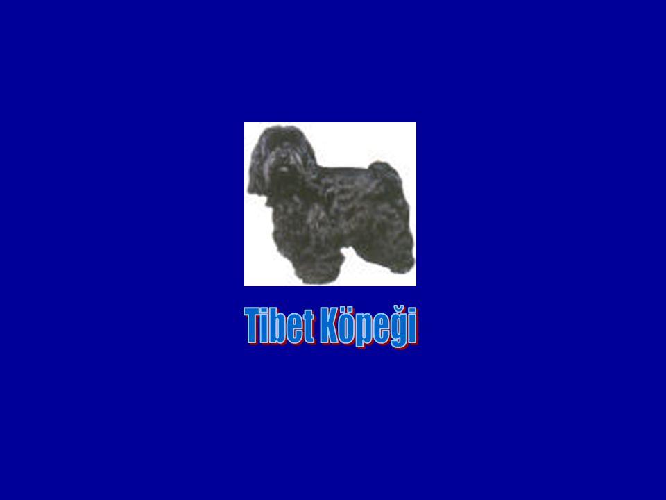 Tibet Köpeği