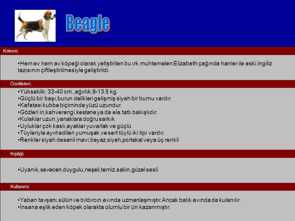 Beagle Kökeni: