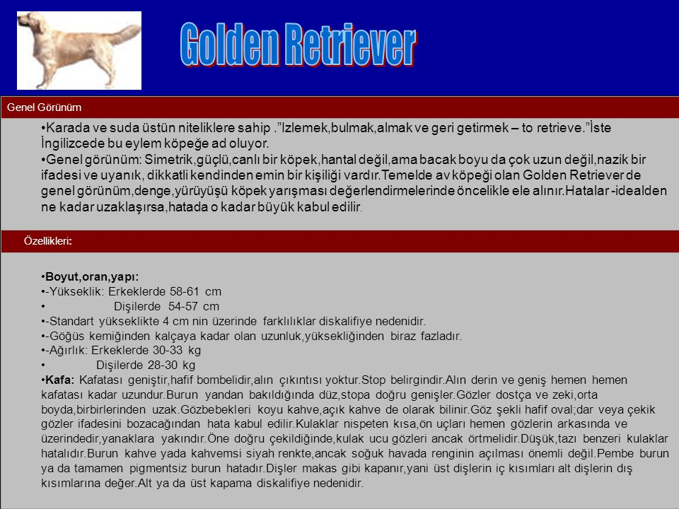 Golden Retriever Genel Görünüm.