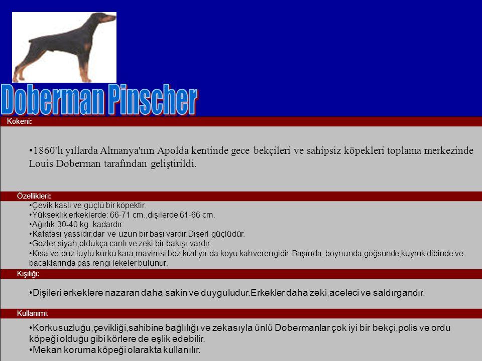 Doberman Pinscher Kökeni: