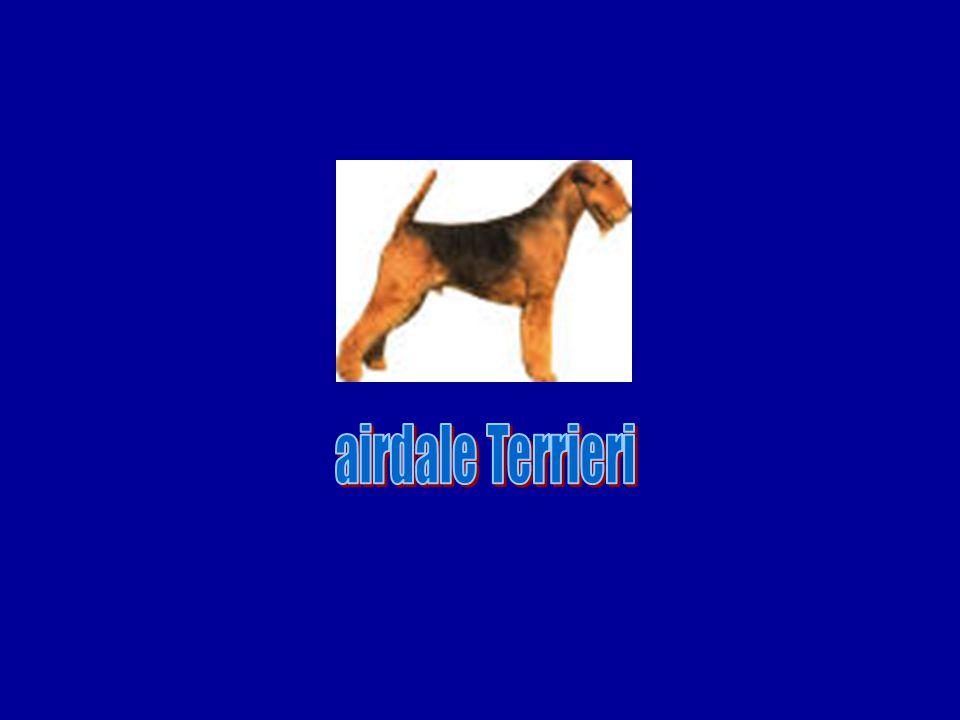 airdale Terrieri
