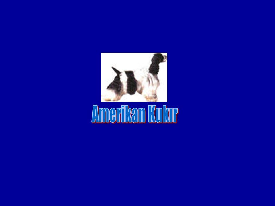 Amerikan Kukır