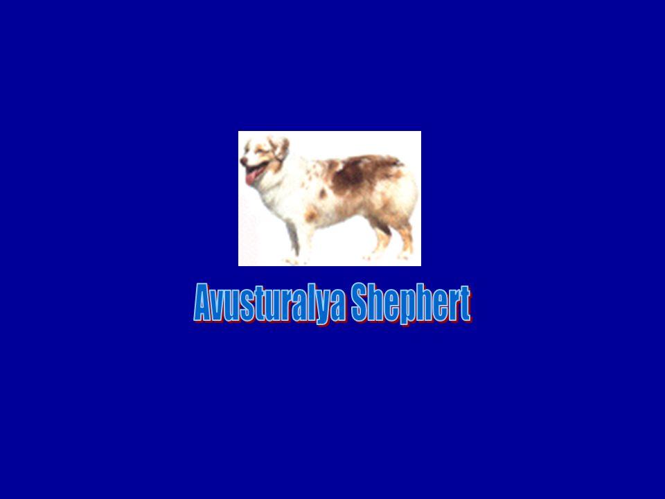 Avusturalya Shephert