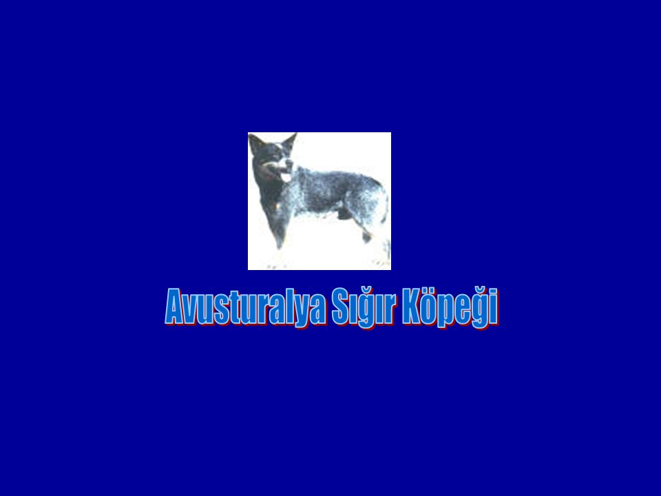 Avusturalya Sığır Köpeği